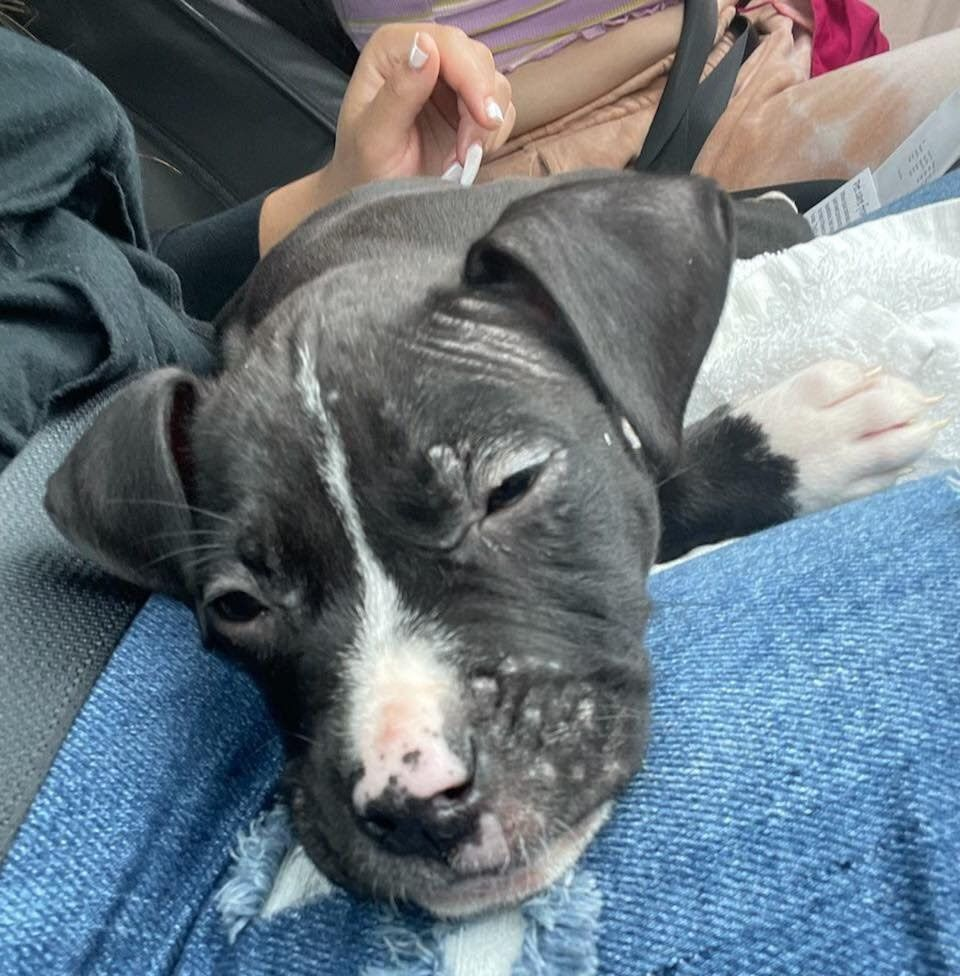Urgent – Rescue in progress! 9-week-old pit puppy, Saint, being rushed to the hospital!