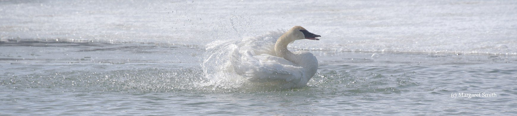 You can find links to swan information for all of North America and even International links at The Trumpeter Swan Society website