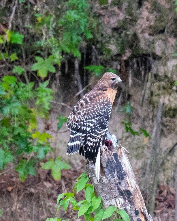 Kickerillo-Mischer Preserve Bird Survey