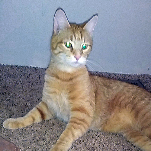 LOST: Cat (Cheddar)
