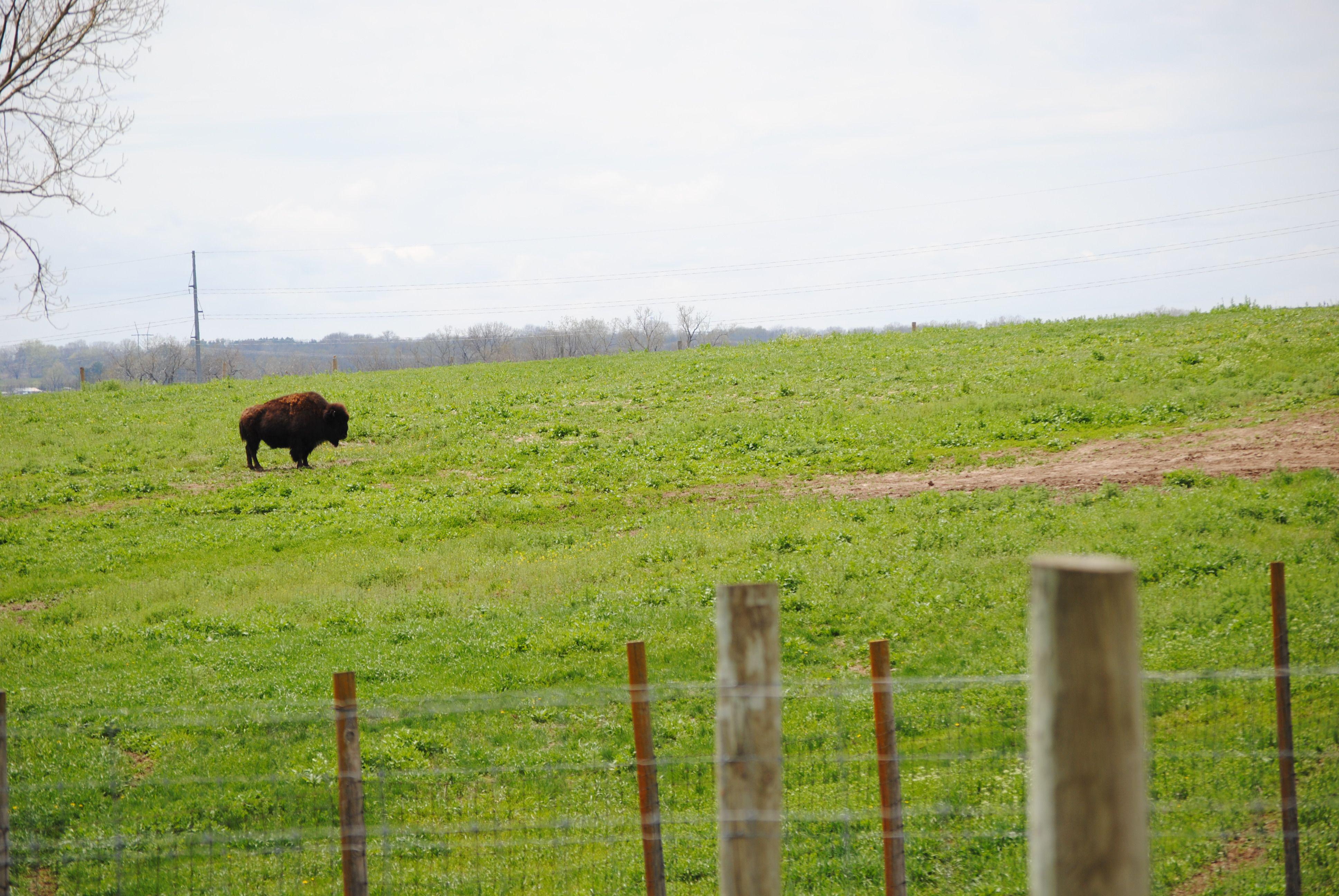 Bison photo by Adrian Olivera