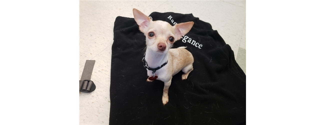 Nine Chihuahuas Rescued From Homelessness