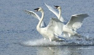 Trumpeter Swans have been restored in areas where they haven't been seen since the 1880s.