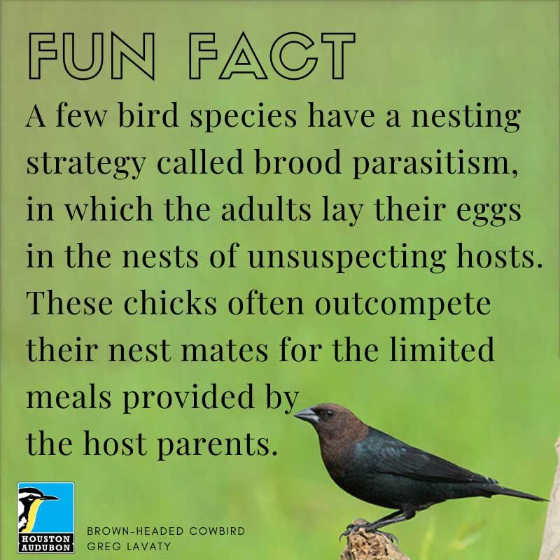 Fun fact about brood parasitism