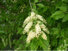 "Chokecherry  - Pack of 25 Seedlings (6""-12"")"