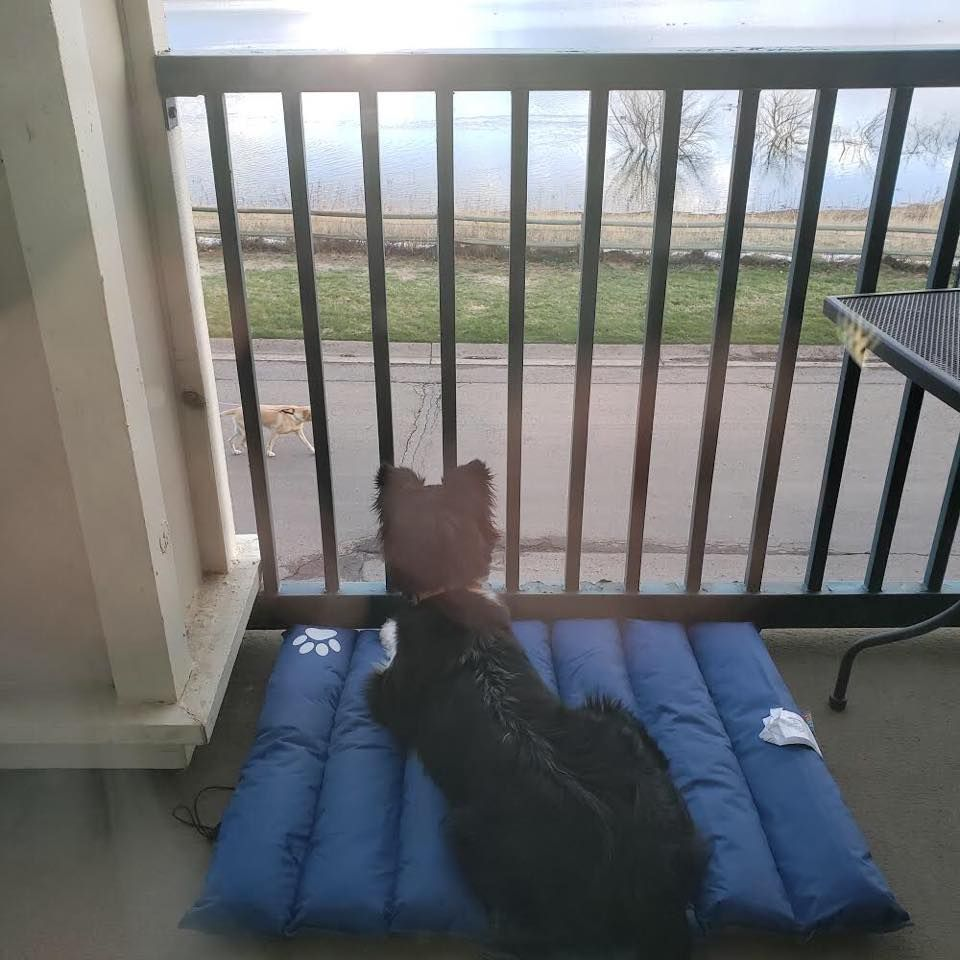 Dottie Observing New Dogs From the Patio
