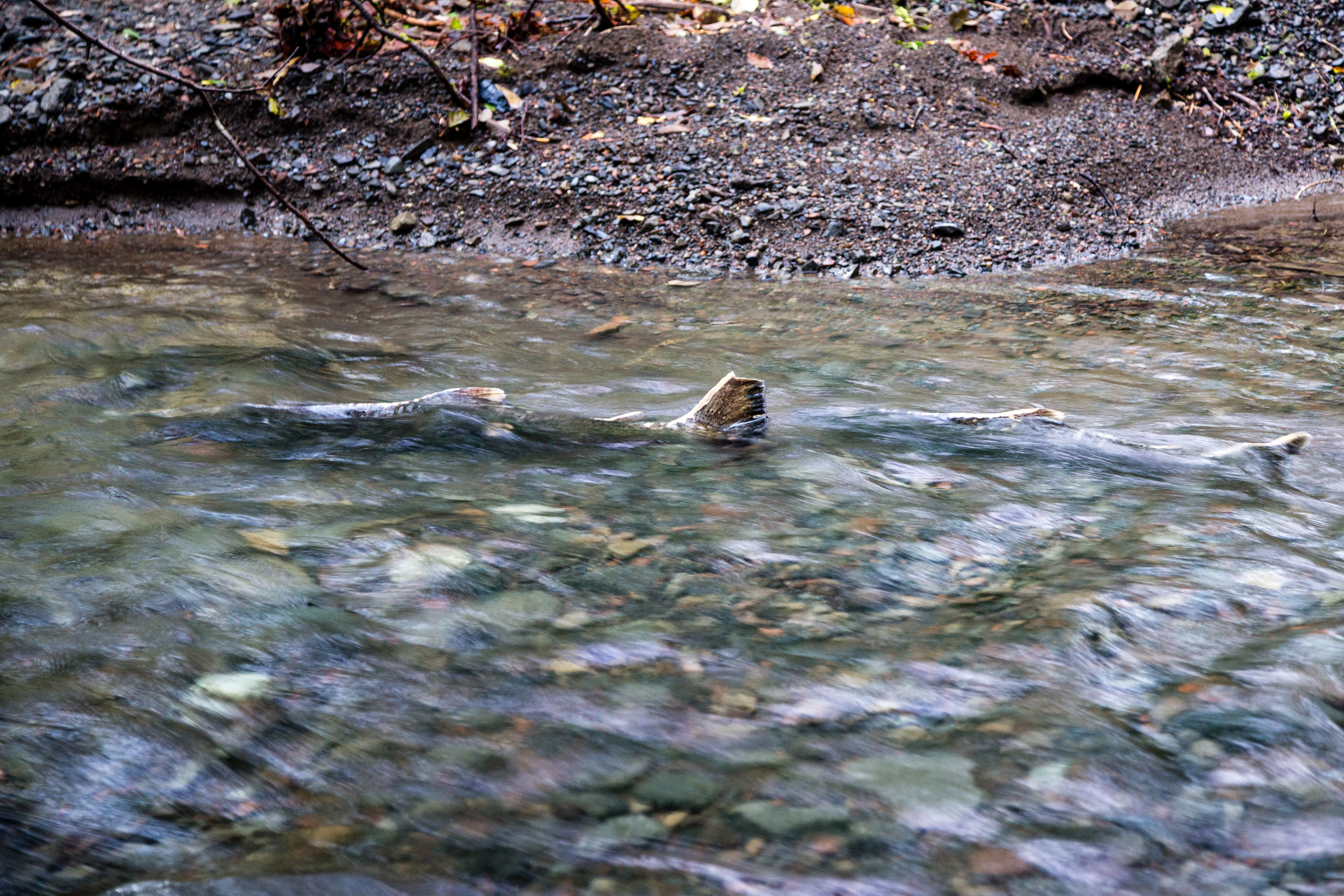 Bringing salmon back to Bear Creek Restoration creates widespread impact in the Elk River Watershed
