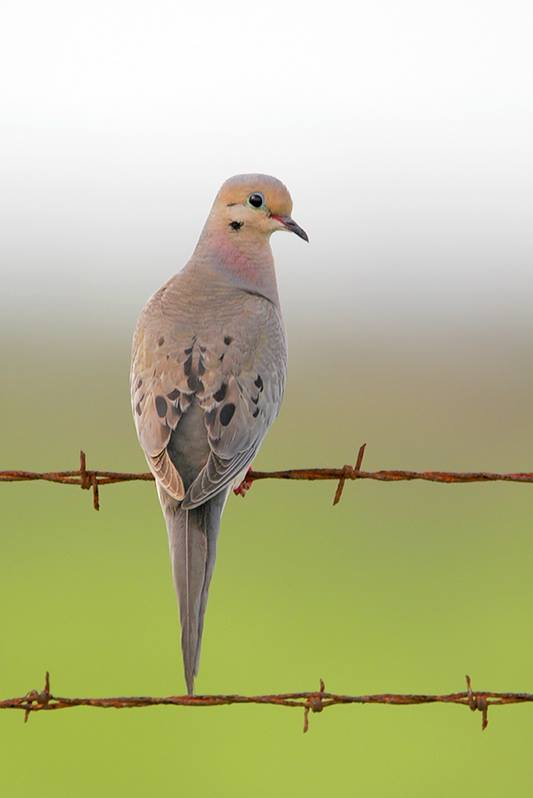 mourning dove bird gallery houston audubon