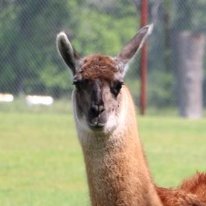 Llama/Guanacos