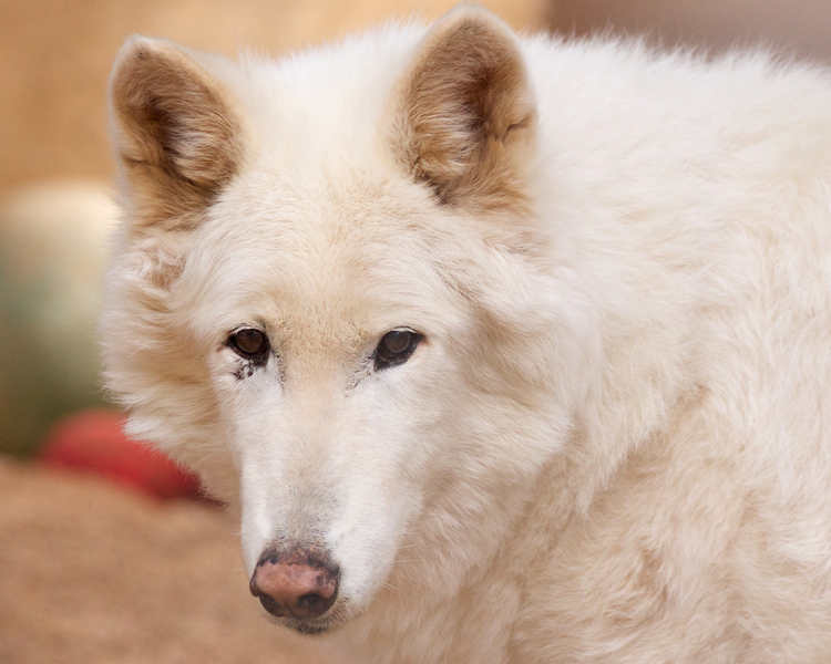 Beloved Koda the Arctic Wolf