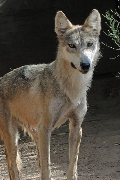 F883 Serenity Mexican Gray Wolf Southwest Wildlife Scottsdale Arizona Photo by Carol A. Urban