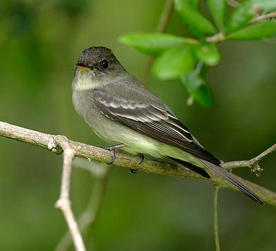 Beak of the Week: Eastern Wood-Pewee