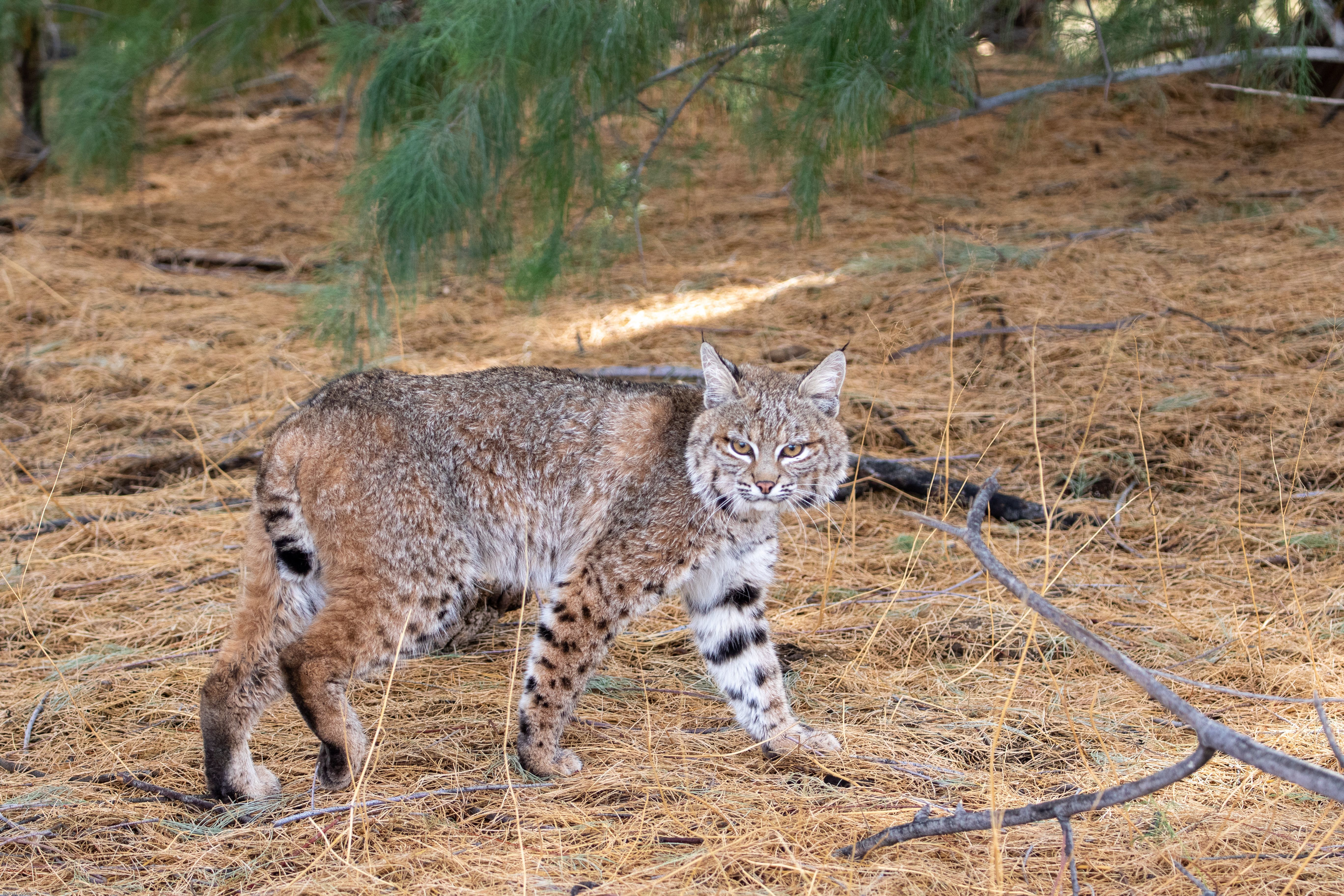 Wildlife Weekly: Bobcat Mythbusting