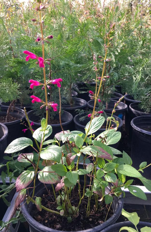 Dry Creek Native Plant Nursery Sale