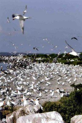 Terns nesting on Evia Island