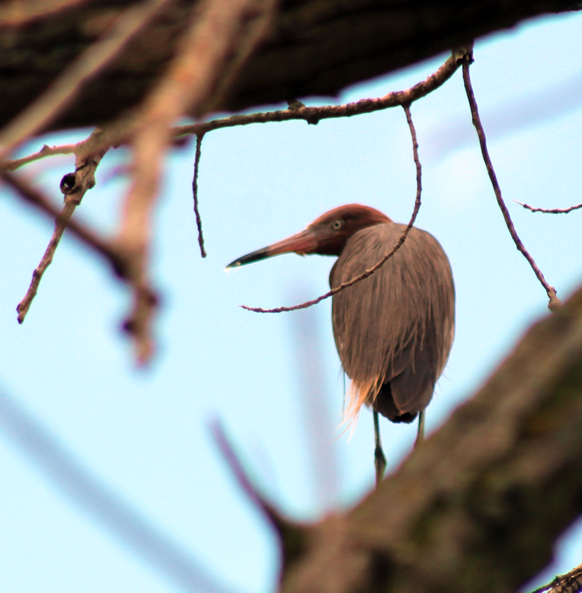Reddish Egret Spotted on the Platte