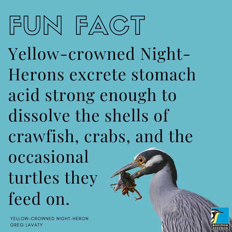 Yellow-crowned Night-Heron fun fact