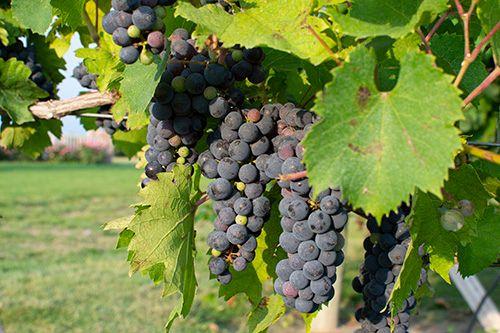 Prairie Creek Vineyard