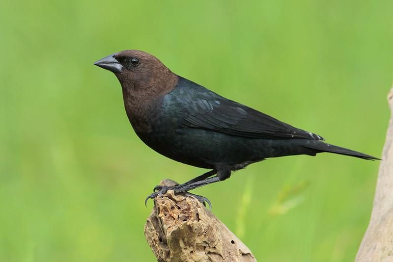 Brown-headed Cowbird | Bird Gallery | Houston Audubon