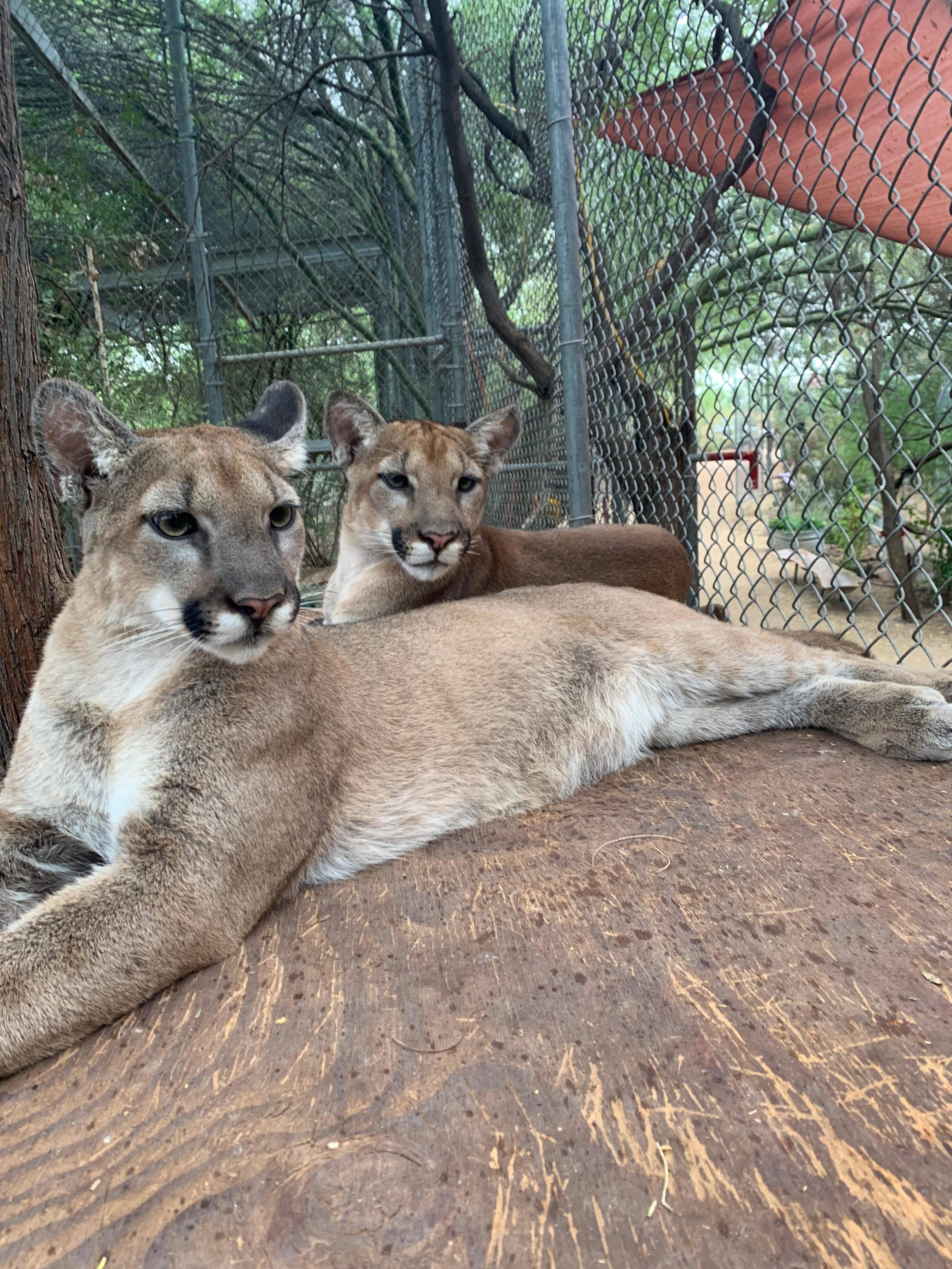 Felix & Zia - Mt. Lion Kittens