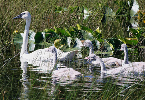 TRUMPETER SWANS TRY TO DODGE A BULLET