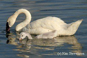 What do Trumpeter Swans eat?