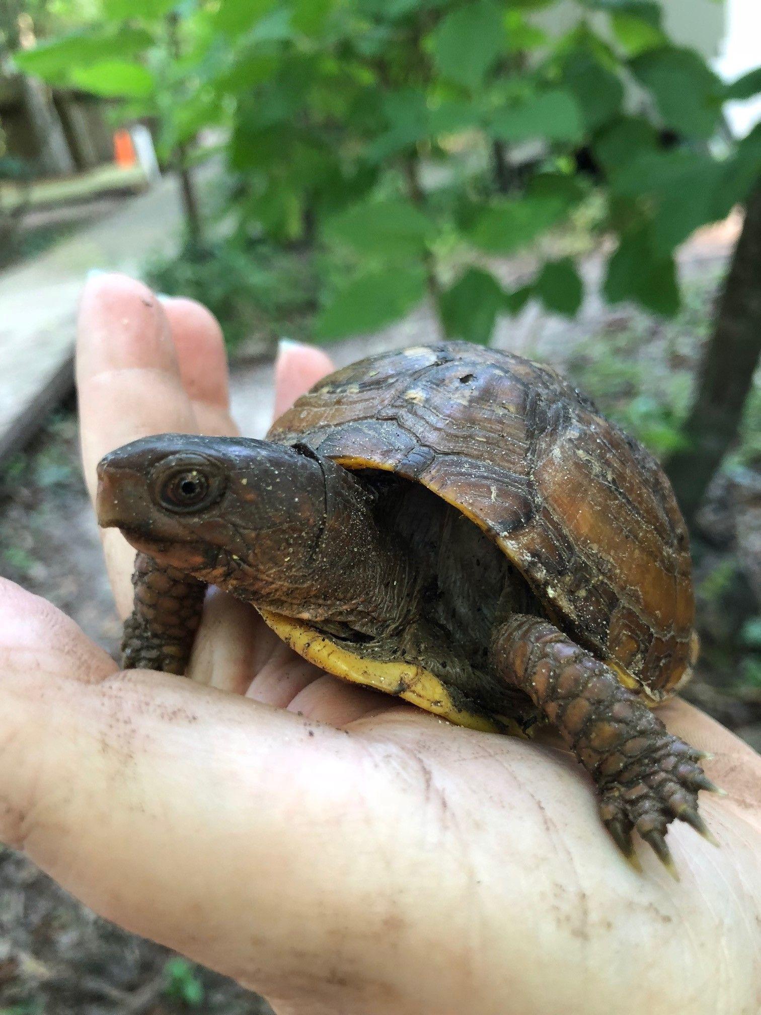 Baby Turtles in Natives Nursery