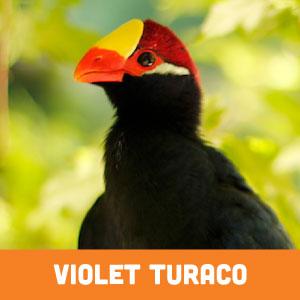 violet turaco