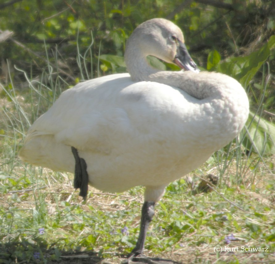 Tundra Swan cygnet legs and feet