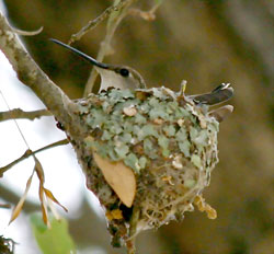 Black-chinned Hummingbird female in nest