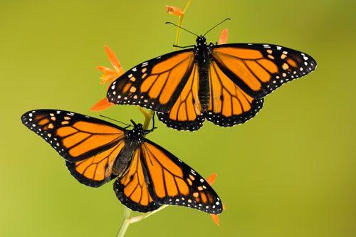 Monarchs and Honeybees