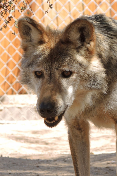 F886 Corazon Mexican Gray Wolf Southwest Wildlife Scottsdale Arizona Photo by Carol A. Urban