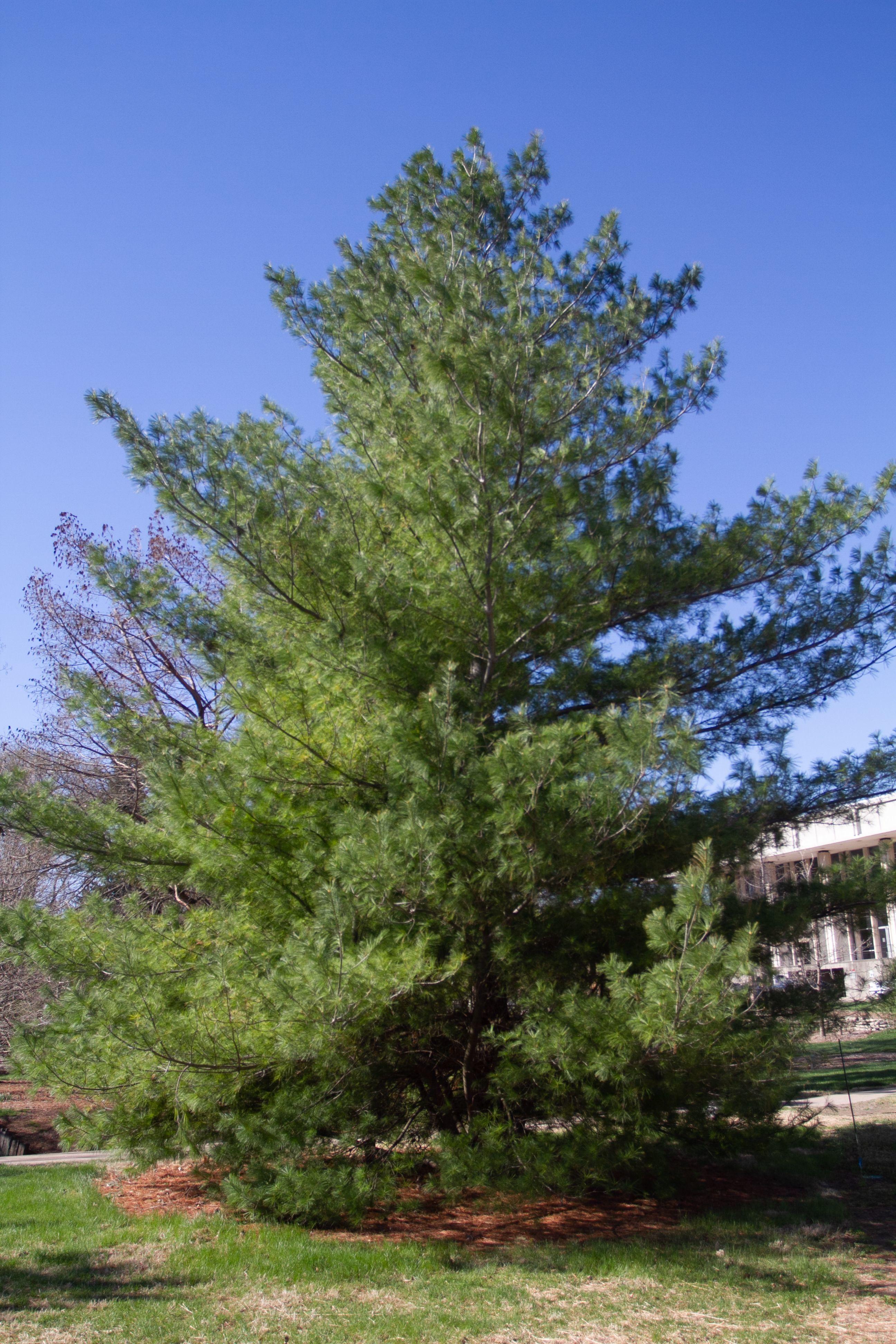 Eastern White Pine, Pinus strobus