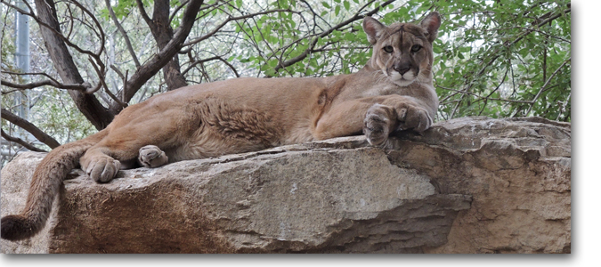 Cleo Mountain Lion