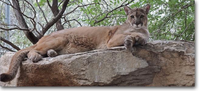 Cleo Mountain Lion