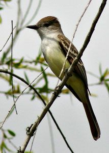 Beak of the Week: Great Crested Flycatcher