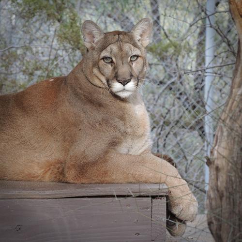 Cleo Mountain Lion Photo by WJ Wheaton
