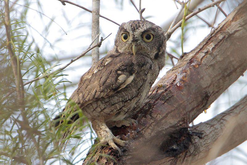 Eastern Screech-Owl (gray morph)