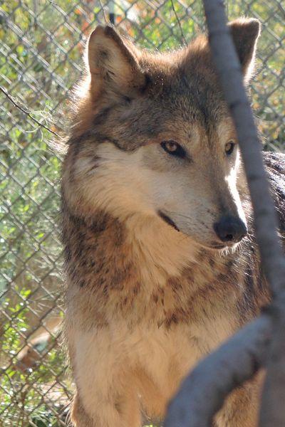 F883 Serenity Mexican Gray Wolf Southwest Wildlife Scottsdale Arizona Photo by Carol A. Urban