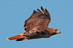 Beak of the Week: Red-tailed Hawk