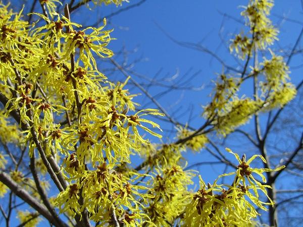 "Witch Hazel - Pack of 25 Seedlings (6""-12"")"