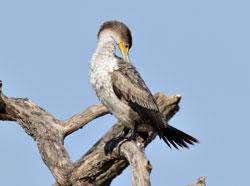 Double-crested Cormorant (juvenile)