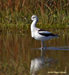American Avocet (winter plumage)