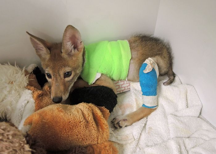 Coyote Puppy Healing