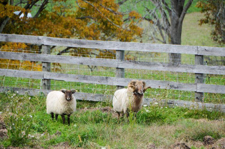 Fat Apple Sheep