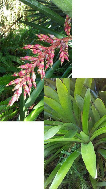 Bromeliad with unusual bloom