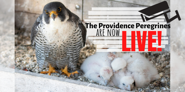 Providence Peregrine Webcam