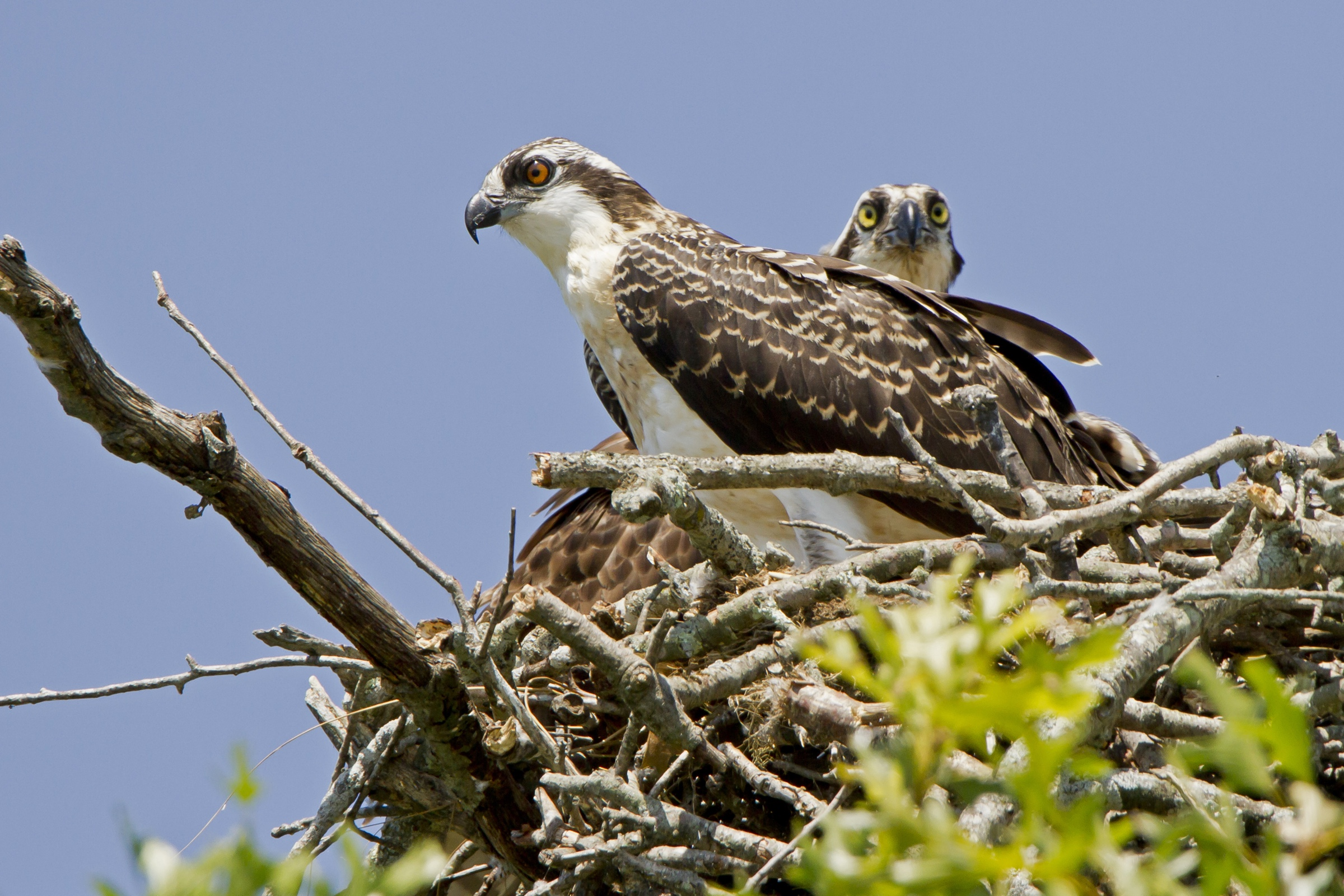 Audubon Monitors Record Healthy Osprey Population in the Ocean State