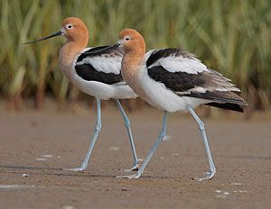 American Avocets (breeding plumage)