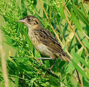 Beak of the Week: Seaside Sparrow